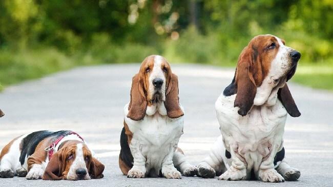 сколько стоит щенок бассет-хаунд