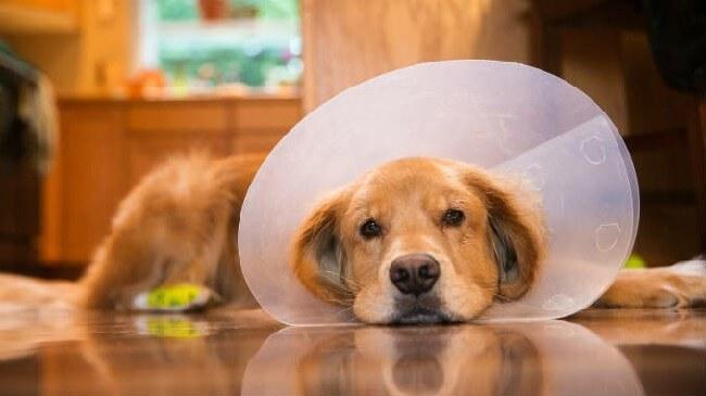 нужно ли кастрировать собаку если не вязать