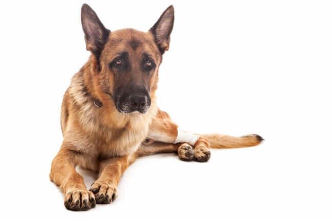 артрит у собаки причины и лечение