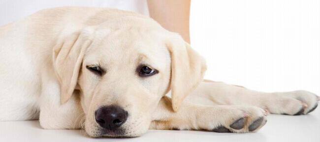 артроз у собаки симптомы и лечение