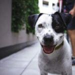 асцит у собаки
