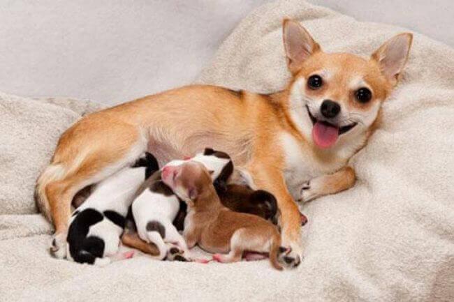 беременность у собак сколько длится