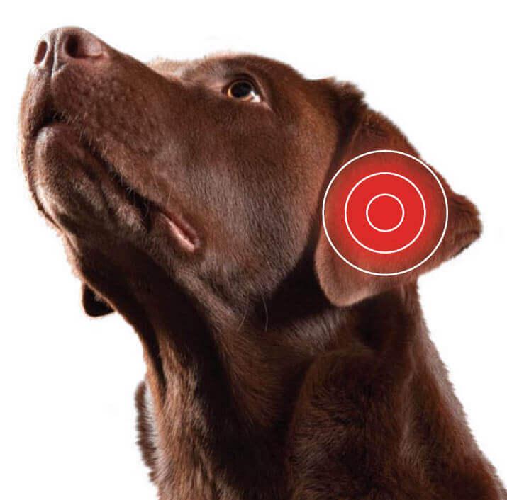 Лечение отита у собак антибиотиками
