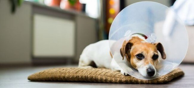 как подготовить собаку к стерилизации