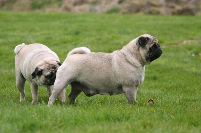 первая течка у собаки в каком возрасте