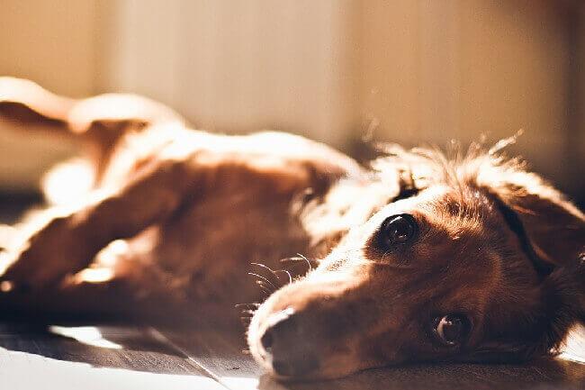 эпилепсия у собак - как прекратить приступы