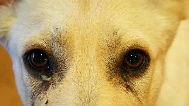 симптомы конъюнктивита у собаки