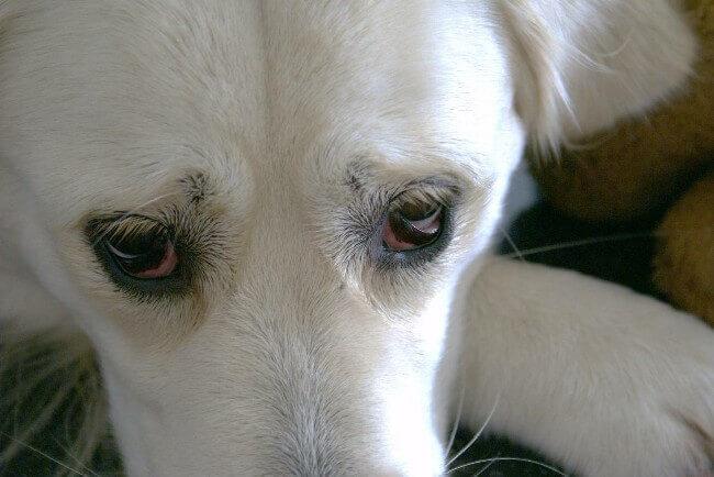 лечение конъюнктивита у собак в домашних условиях