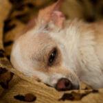 симптомы мастита у собаки