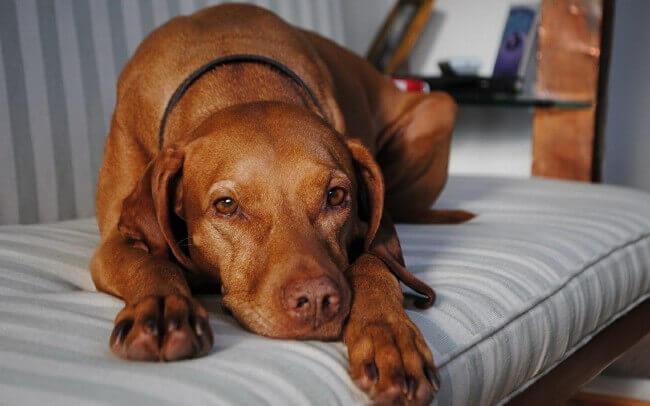 микоплазмоз у собак