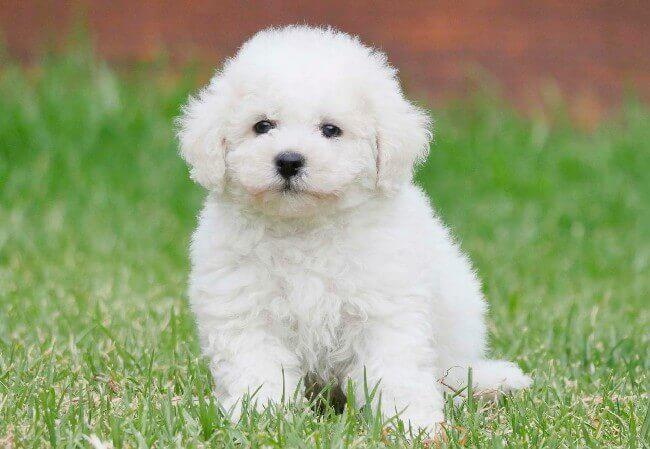 белая пушистая собака бишон фризе