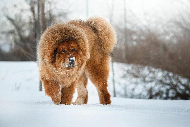 большая пушистая собака тибетский мастиф