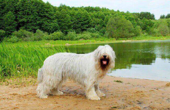 большая белая пушистая собака южнорусская овчарка