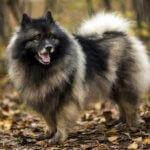 пушистые породы собак