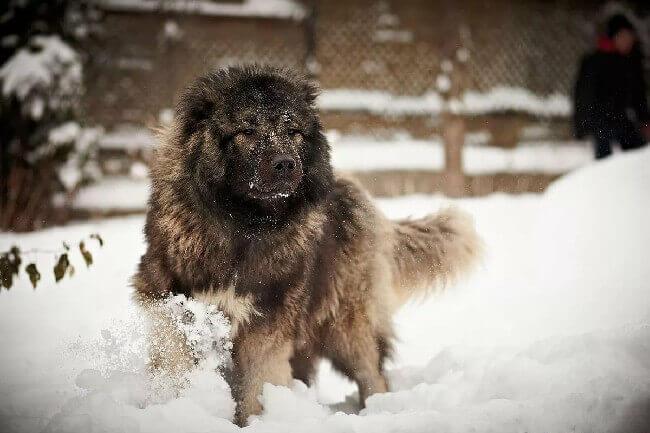 большая пушистая собака кавказская овчарка