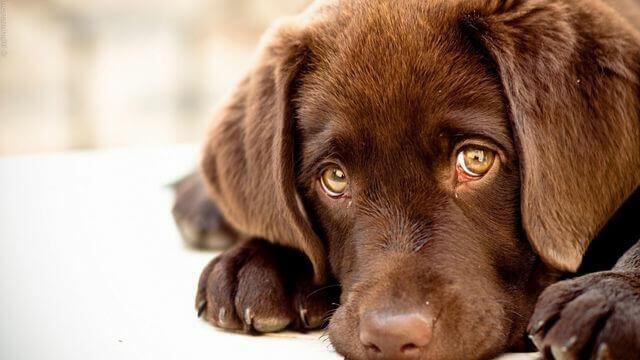 почему у собаки слезятся глаза - симптомы, лечение