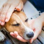 стафилококк у собак симптомы и лечение