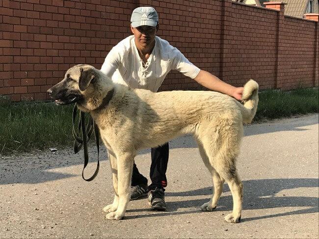 турецкая овчарка