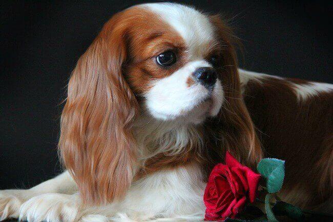 кавалер кинг чарльз спаниель цена щенка