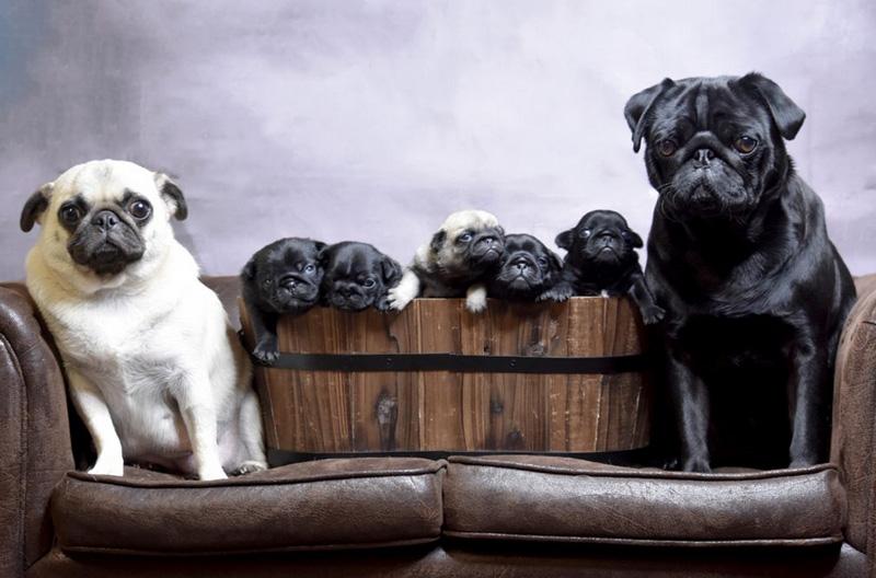 Беременность и роды мопсов