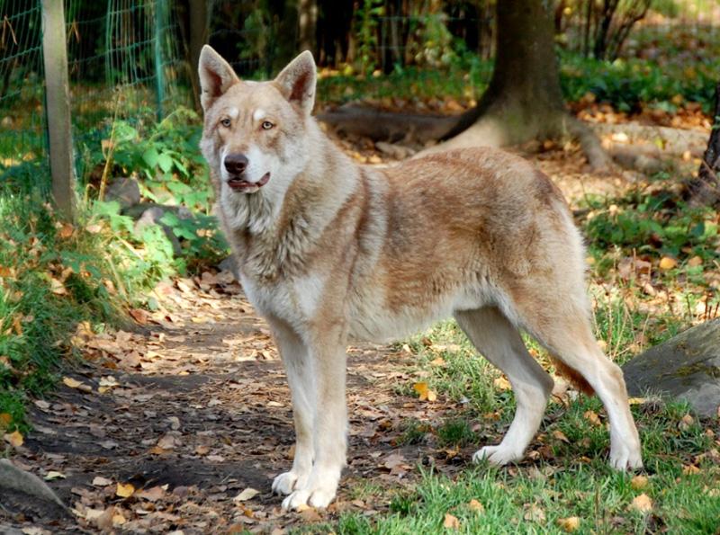 Волчья собака Саарлооса