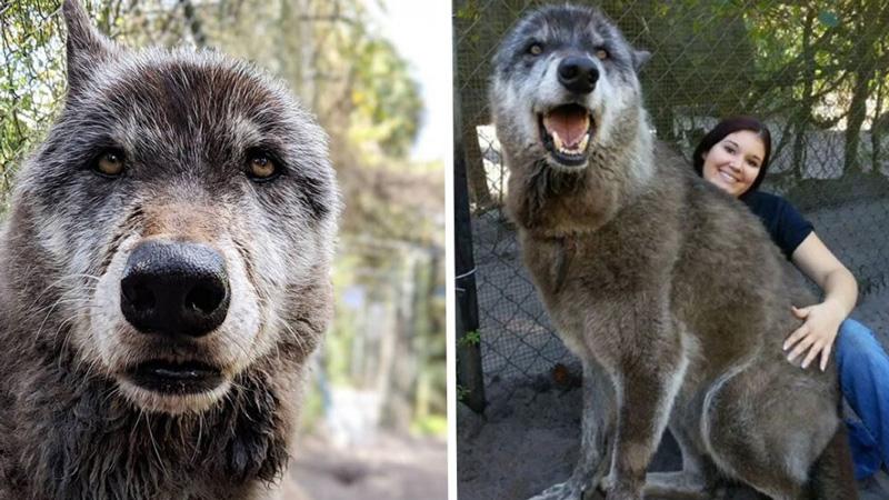 Юки – самый известный волкособ Америки