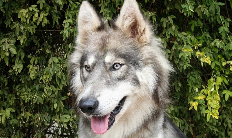 Husky Wolf Mix – гибрид сибирской хаски и волка