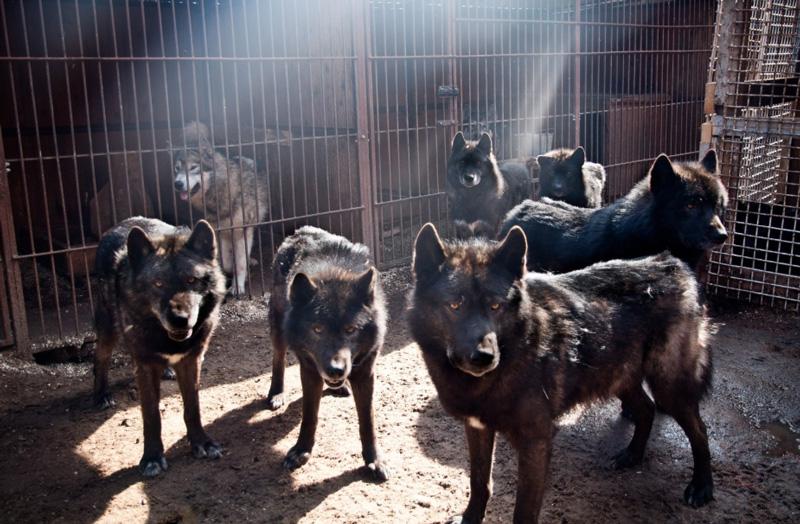 Русский вольфхунд – черный волкособ, самый крупный их гибридов