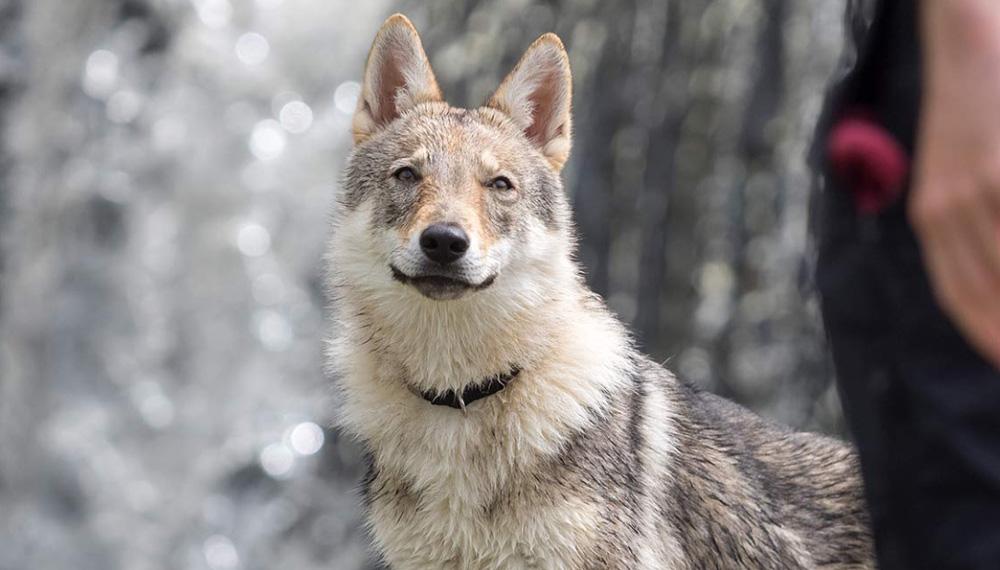 Гибрид волка или волкособ