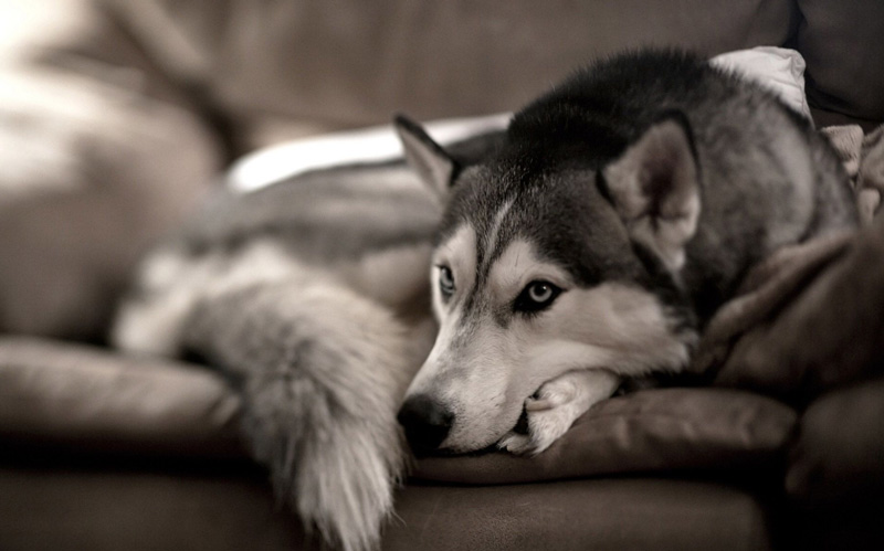 Как ухаживать за взрослой собакой хаски