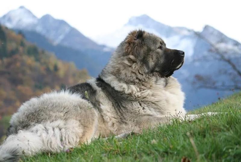 Кавказская овчарка грузинского типа