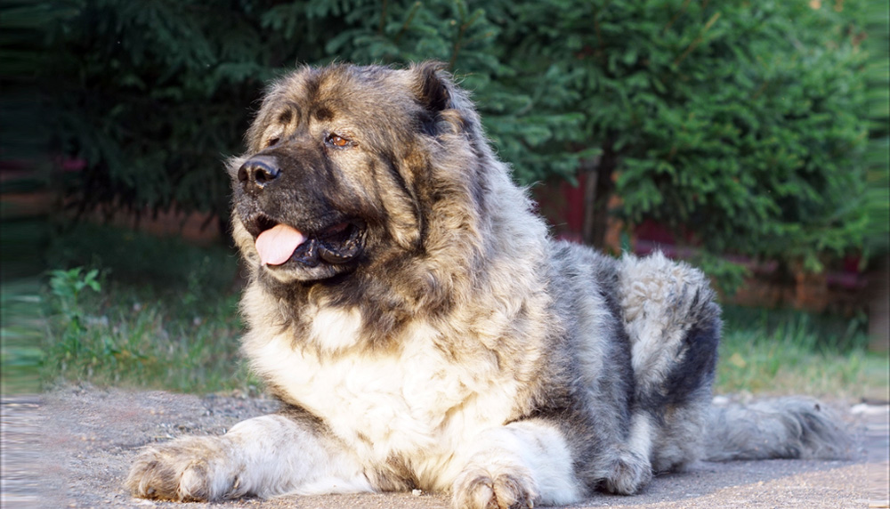 Кавказская овчарка характер