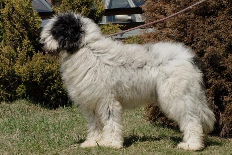 Румынская овчарка Миоритик (Миоритская)