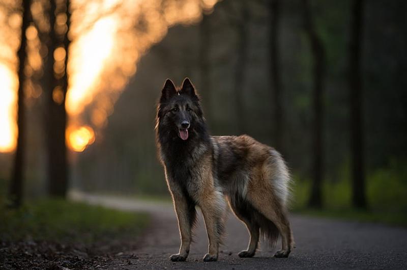 Бельгийская овчарка