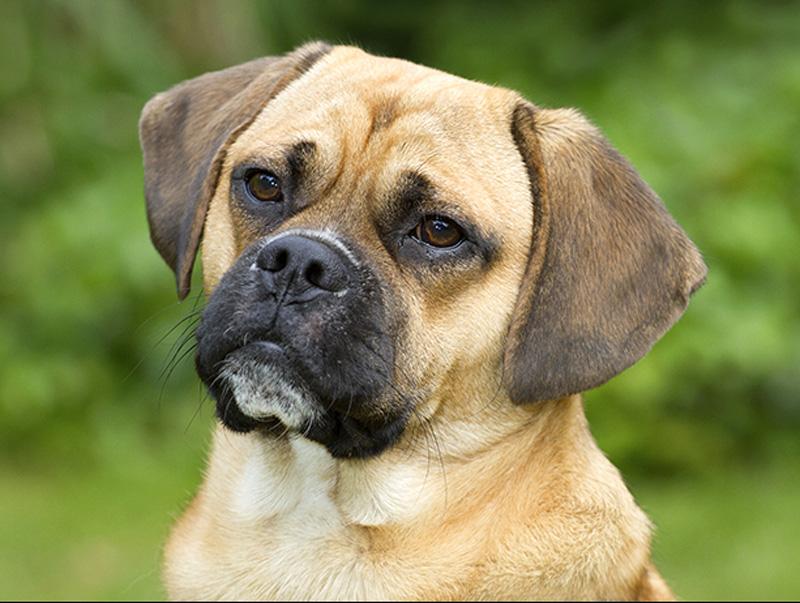 Порода собак пагль