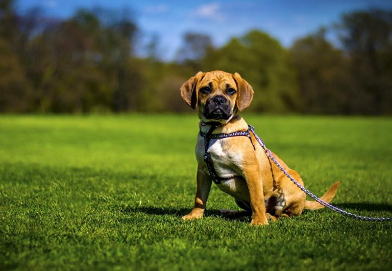 Собака Пагль