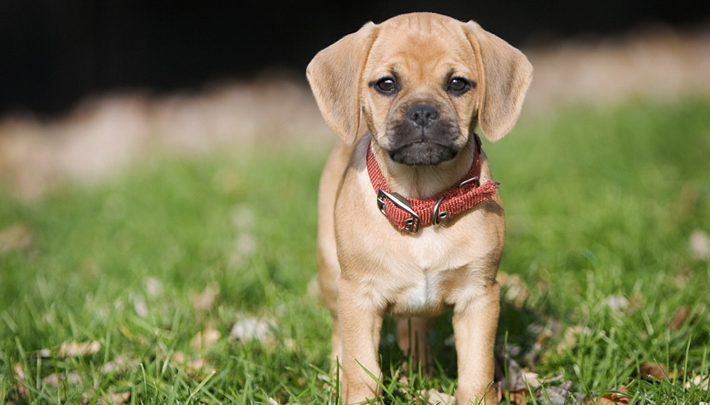 Пагль собака порода собак