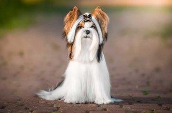 Порода Biewer terrier, бивер йорк, бивер а ля Пом Пон, черно-белый йорк, трехцветный терьер, бивер йоркширский терьер