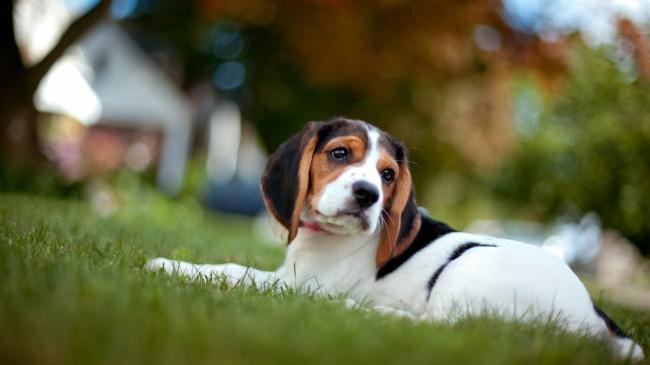 бигль собака фото и цена