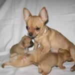 мама с щенками чихуахуа