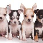 разные щенки чихуахуа