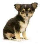 маленький щенок чихуахуа