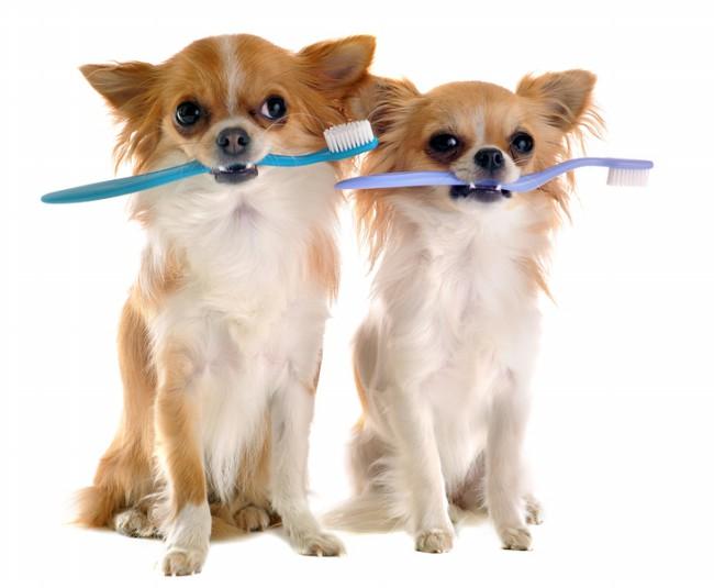 гигиена собаки чихуахуа