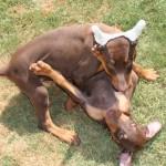 щенки добермана фото