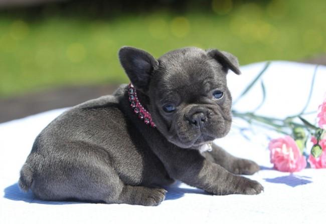 сколько стоит щенок французского бульдога