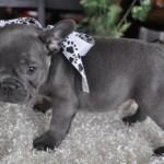 французский бульдог цена щенка
