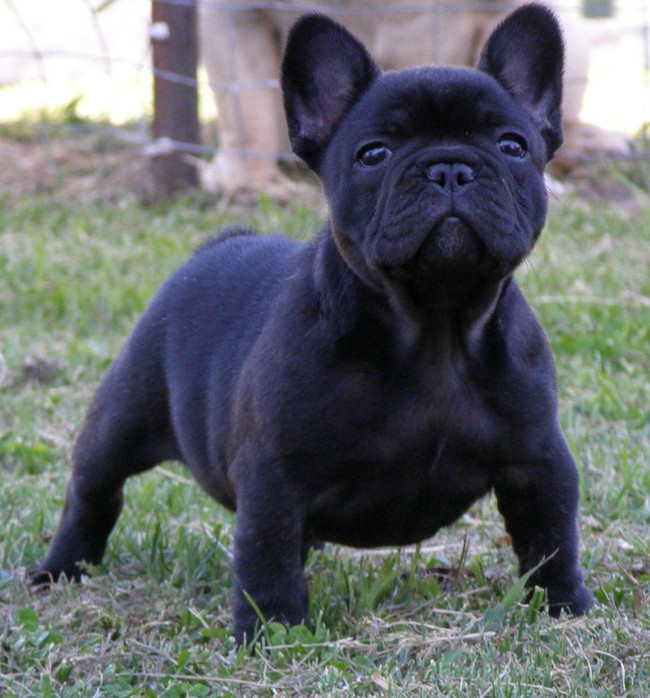 New Arrivals  Phoenix French Bulldog Rescue