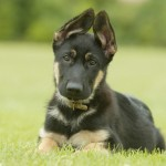 щенок немецкой овчарки 2 месяца