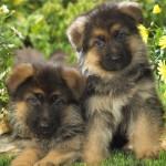 щенки немецкой овчарки 1 месяц