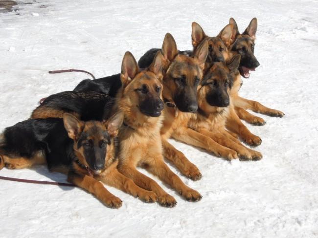 семейство немецких овчарок